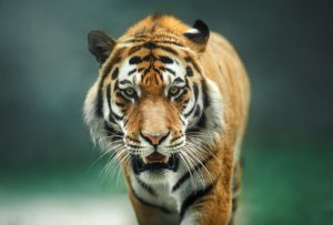 Sklover Working Wisdom Tiger